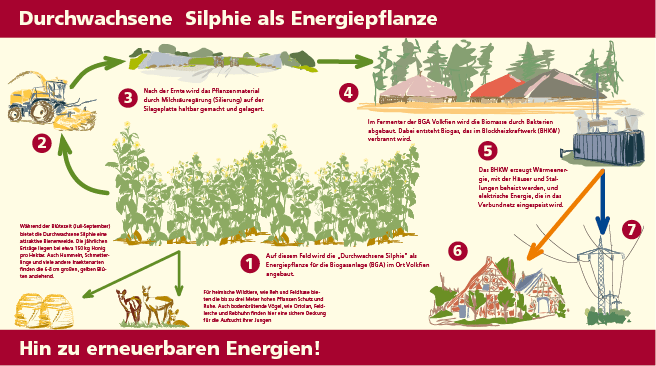 Infografik Bioenergie Energiepflanze Durchwachsenen Silphie, Illustration